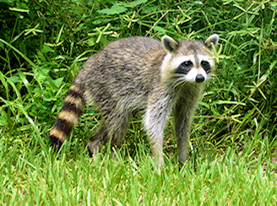 Raccoon Photo 02