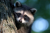 Raccoon Photo 01